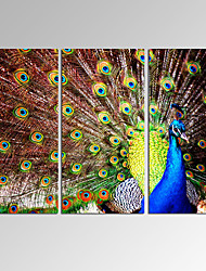 VISUAL STAR3 Panel Peacock Photos Print on Canvas Wall Decoration Canvas Art Ready to Hang